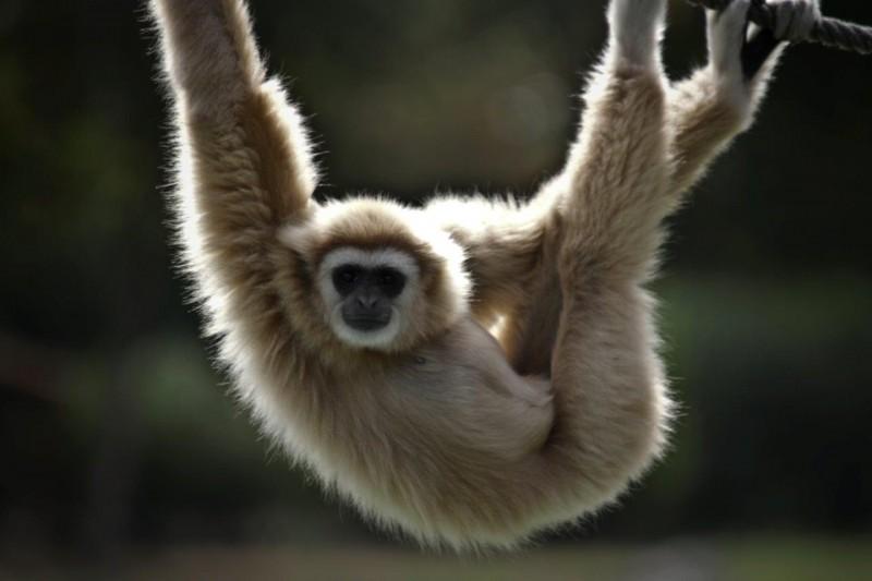 Le Pal - singe